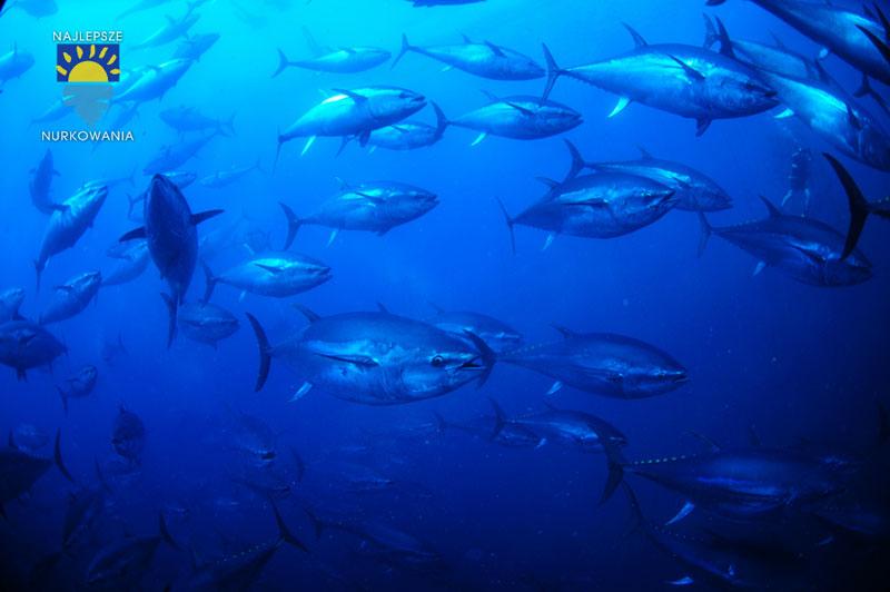 diving with bluefin tuna in malta by Bartosz Cieslak (1)