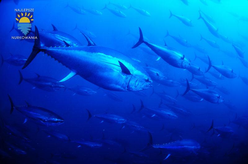 diving with bluefin tuna in malta by Bartosz Cieslak (3)