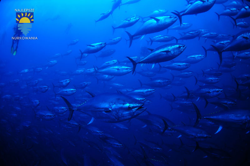 diving with bluefin tuna in malta by Bartosz Cieslak (5)