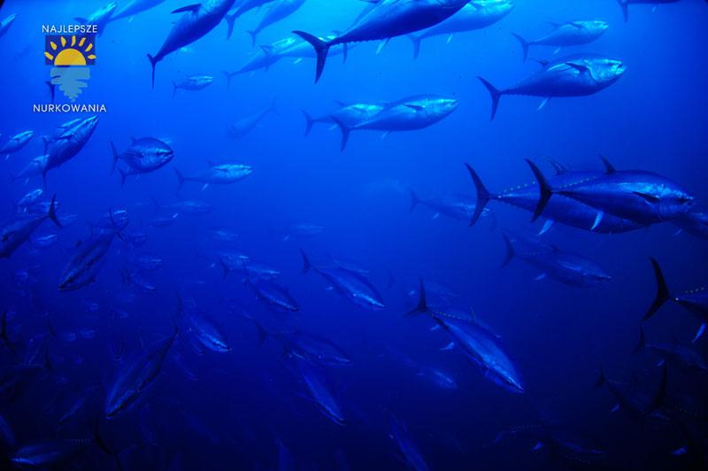 diving with bluefin tuna in malta by Bartosz Cieslak (8)