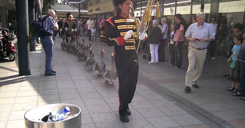 In Case You've Never Seen Geese With Their Own Marching Band Before