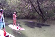 8 Manatees Swim Past Paddleboarders in Shallow, Crystal Clear Water