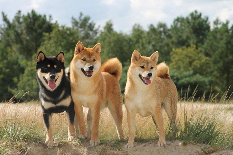 three shiba inus looking perfect portrait Picture of the Day: Just Three Shiba Inus Looking Perfect