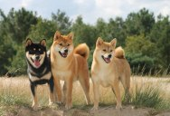 Picture of the Day: Just Three Shiba Inus Looking Perfect