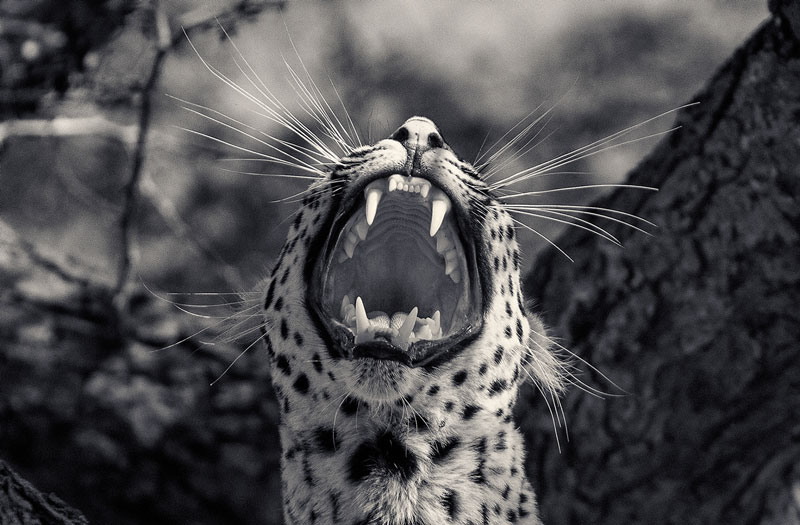 black and white animal portraits by antti viitala (3)