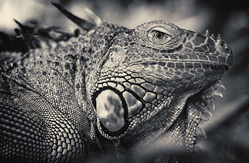 black and white animal portraits by antti viitala (4)