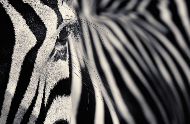 black and white animal portraits by antti viitala (6)
