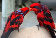 Picture of the Day: Blue-Streaked Lories