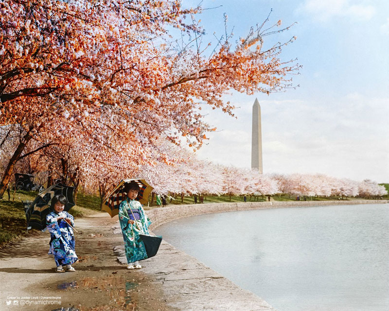 Cherry Blossoms, Washington DC, 1925 colorized by dynamichrome (1)
