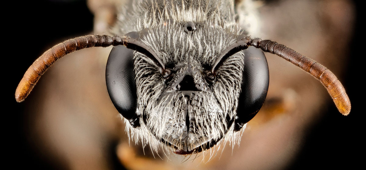Close-Ups of Insect Eyes by usgs biml (11)