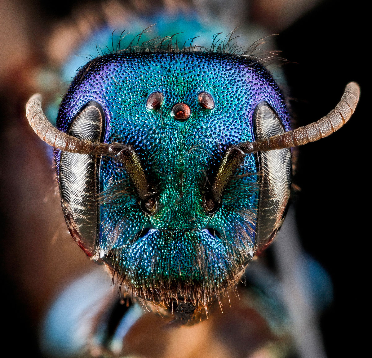 Close-Ups of Insect Eyes by usgs biml (19)