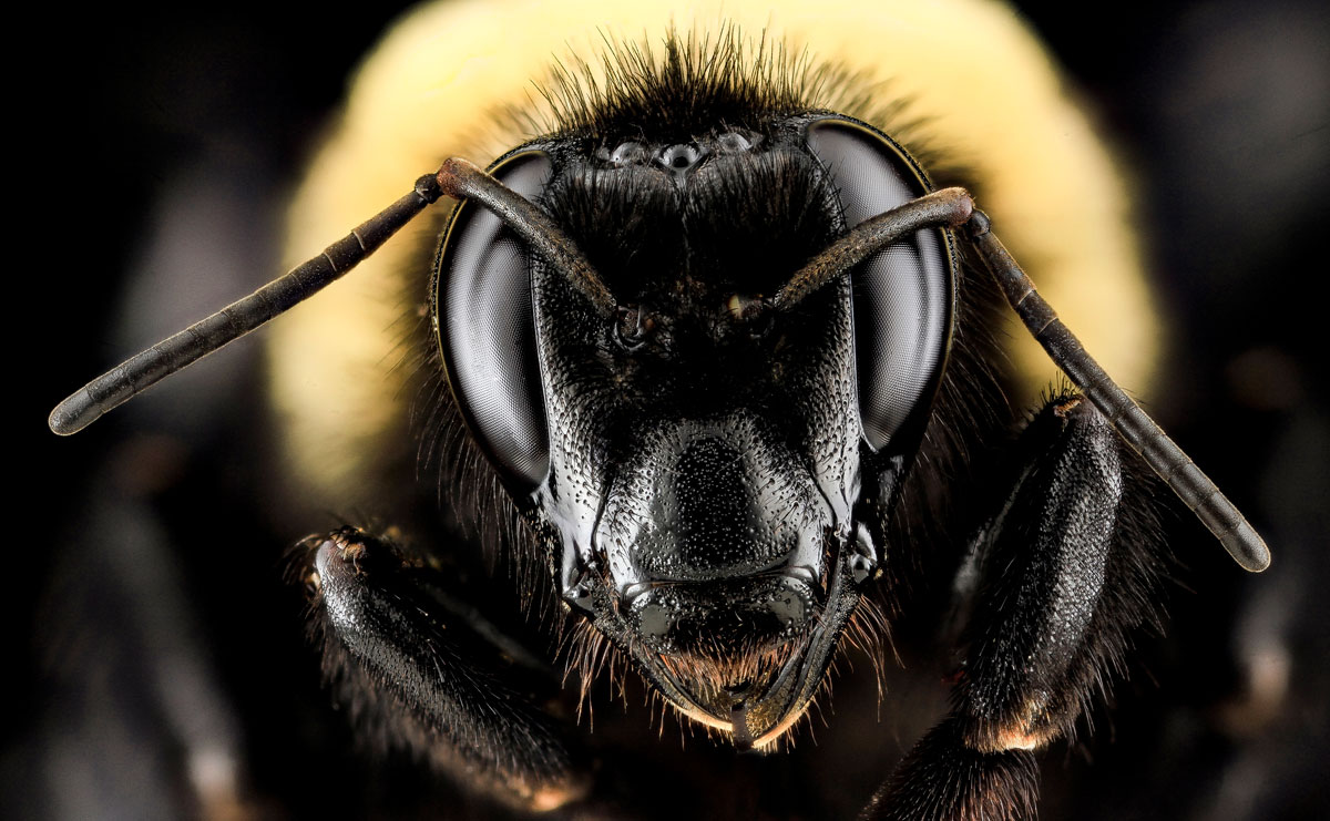 Close-Ups of Insect Eyes by usgs biml (8)