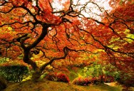 Picture of the Day: Japanese Maple at the Portland Japanese Garden
