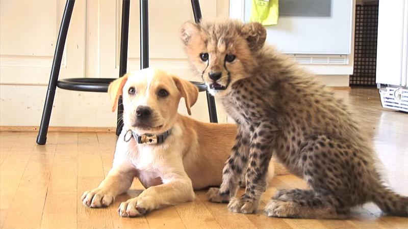 Kumbali and Kago Cheetah Cub and Puppy Friendship metro richmond zoo (11)