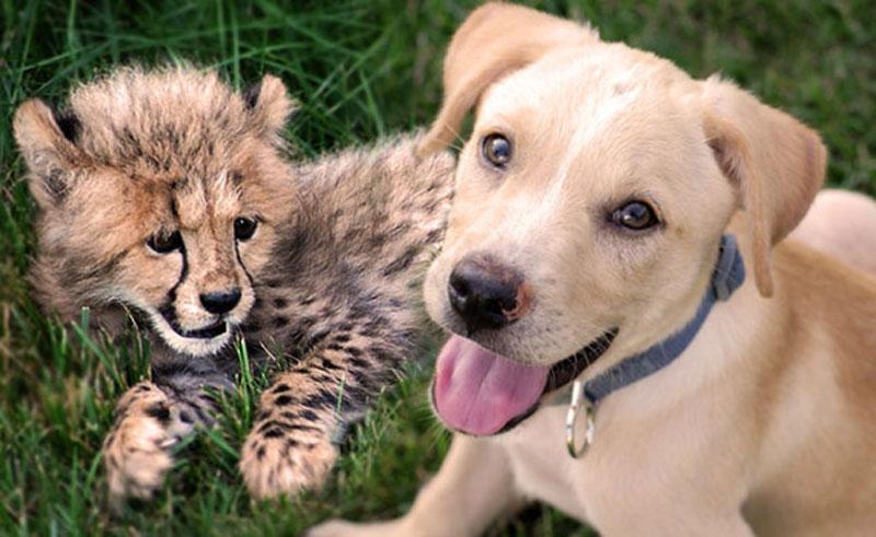 Kumbali and Kago Cheetah Cub and Puppy Friendship metro richmond zoo (4)