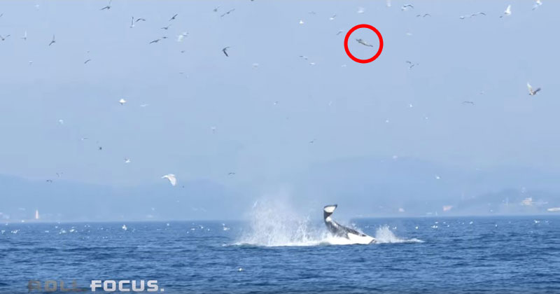 Orca Uses Tail to Launch Seal 80 ft Into the Air