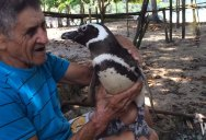 Penguin Rescued from Oil Spill Returns Each Year to Visit His Friend