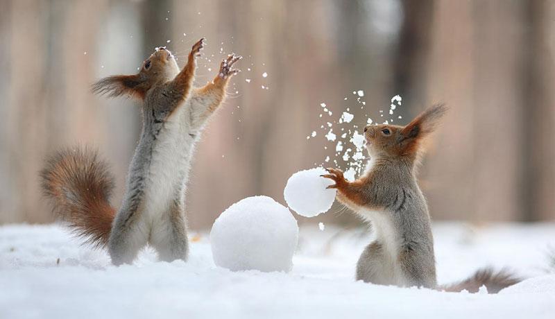 squirrel snowball fight photos by vadim trunov (5)
