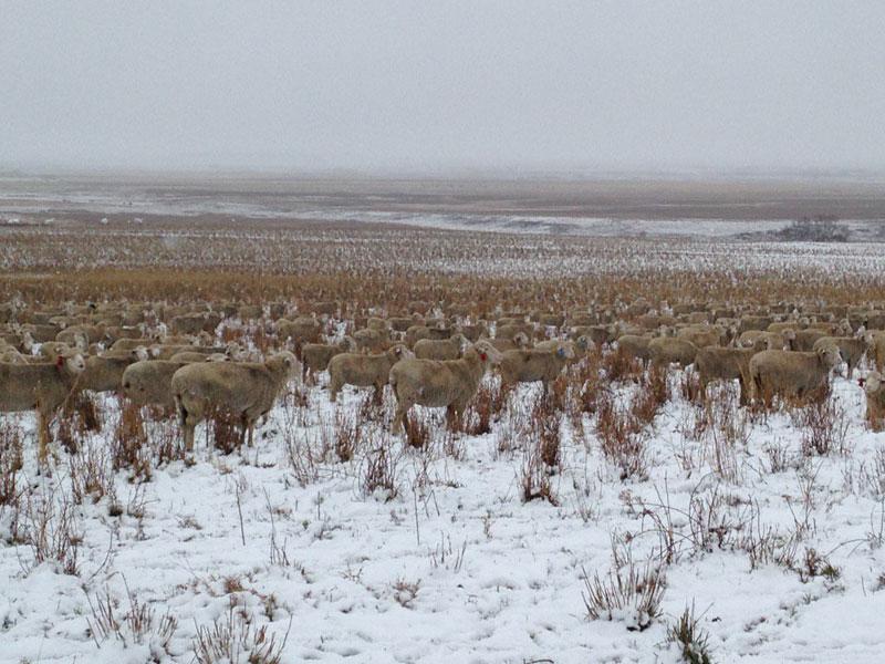 500 sheep in this photo liezel kennedy pilgrim farms (1)