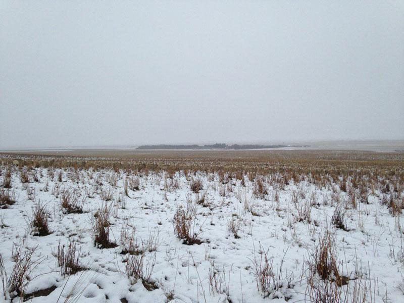 500 sheep in this photo liezel kennedy pilgrim farms (2)