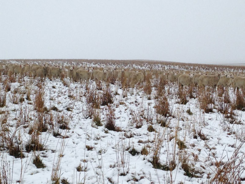 500 sheep in this photo liezel kennedy pilgrim farms (4)