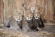 Picture of the Day: 5 Little Cheetah Cubs