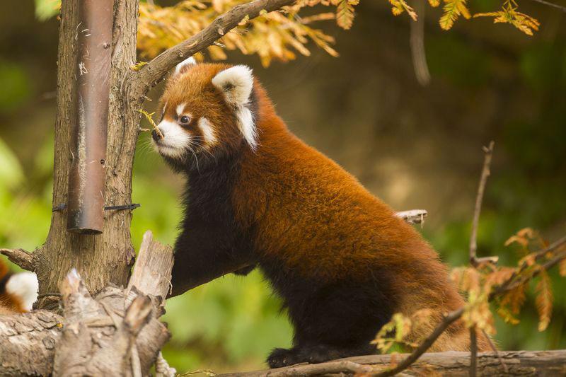cutest cubs in chicago red pandas at lincoln park zoo (1)