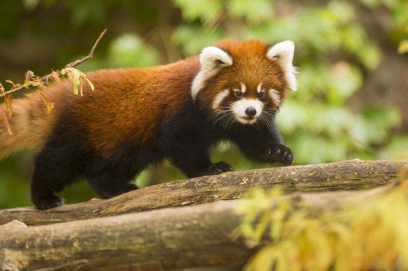 cutest cubs in chicago red pandas at lincoln park zoo (2)