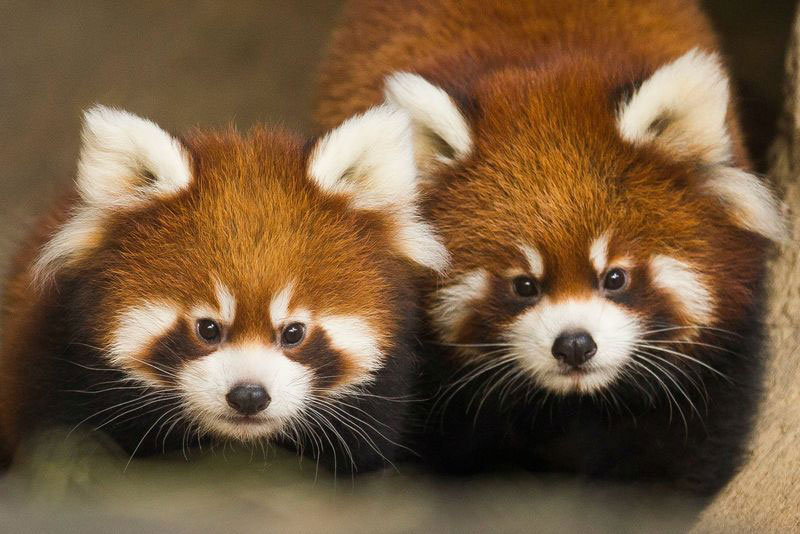 cutest cubs in chicago red pandas at lincoln park zoo (3)