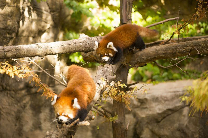 cutest cubs in chicago red pandas at lincoln park zoo (4)