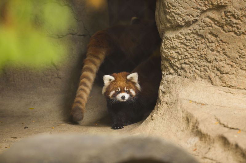cutest cubs in chicago red pandas at lincoln park zoo (5)
