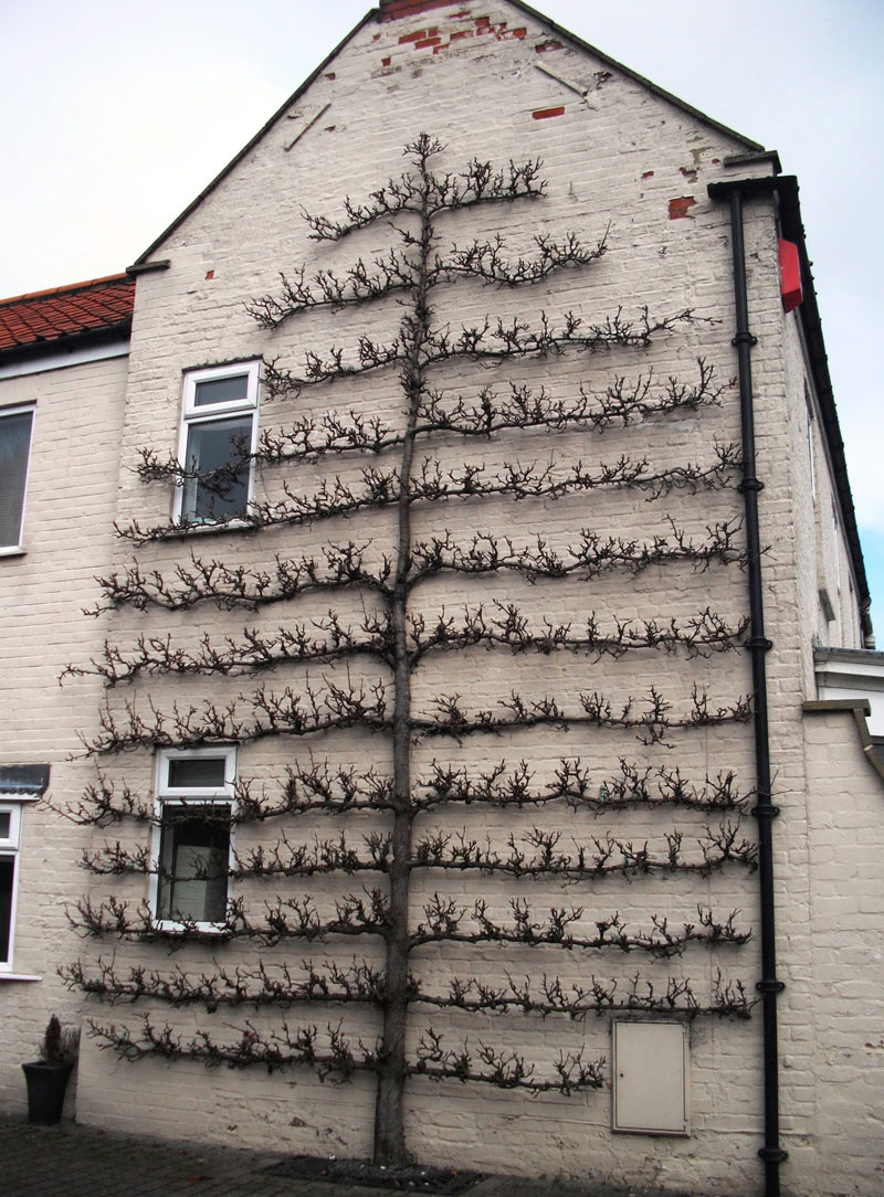 Espaliered Fruit Tree in north cove england Looks Two-Dimensional (2)