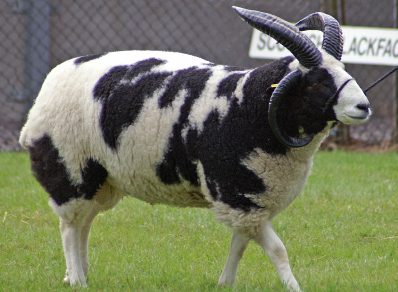 Picture of the Day: This Sheep Looks Like a Cow