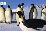 Robot Penguin-cam Meets Real Emperor Penguins for the First Time