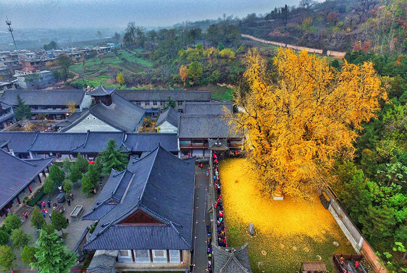 Ancient Ginkgo Rains Gold at a Buddhist Temple in China