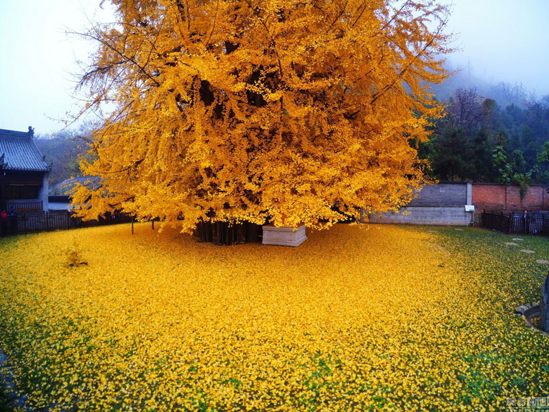 Ancient Ginkgo Rains Gold at a Buddhist Temple in China (2)