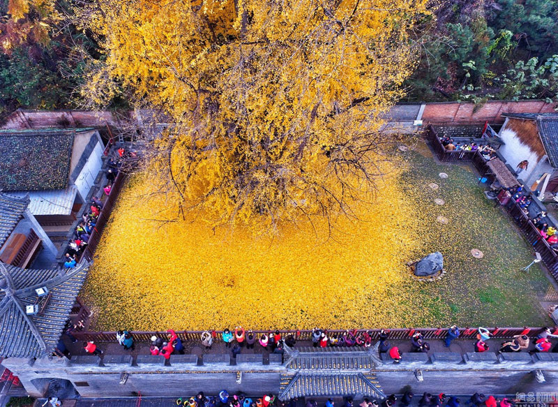 Ancient Ginkgo Rains Gold at a Buddhist Temple in China (3)