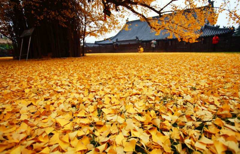 Ancient Ginkgo Rains Gold at a Buddhist Temple in China (4)