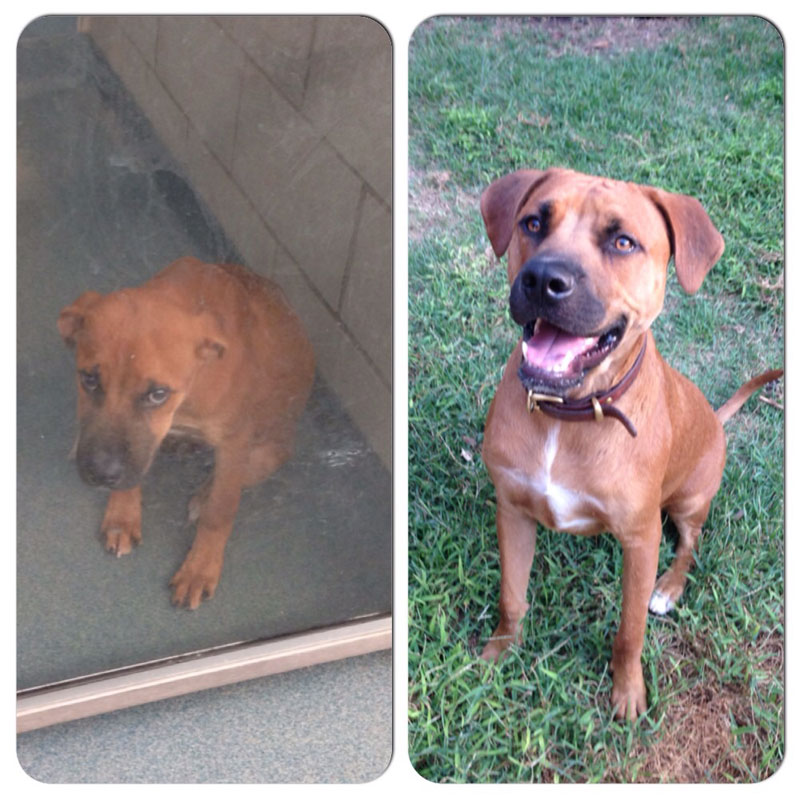 before and after photos of adopted dogs (13)