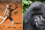 And the Winners of the 2015 Comedy Wildlife Photography Awards Are… (13 Photos)