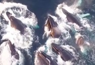 Drone Captures Humpback Feeding Frenzy in Norway