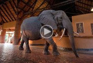Every Spring a Herd of Elephants Walks Through this Hotel's Lobby