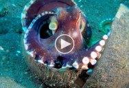 Incredible  Footage Reveals How the Coconut Octopus Got Its Name