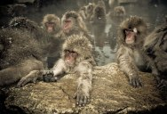 These Snow Monkeys in Japan Have Their Own Hot Spring Pools