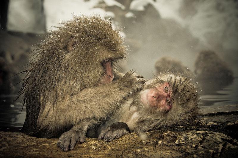 Jigokudani Monkey Park Japan by ron gessel  (13)