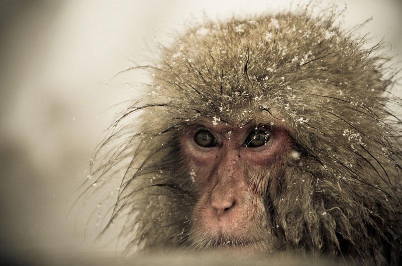 Jigokudani Monkey Park Japan by ron gessel  (16)