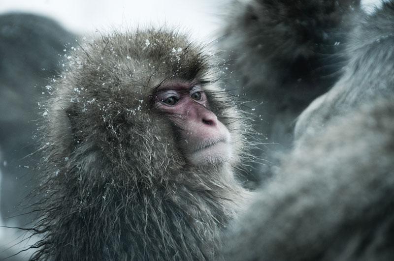 Jigokudani Monkey Park Japan by ron gessel  (5)