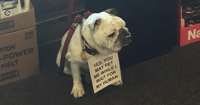 yes you may pet me while i wait for my human The Shirk Report – Volume 346