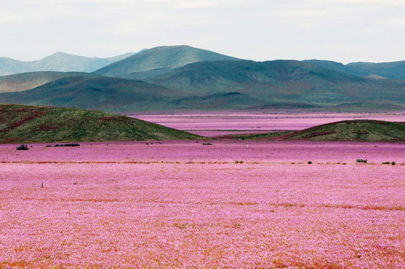 Picture of the Day: The Driest Place on Earth in Full Bloom