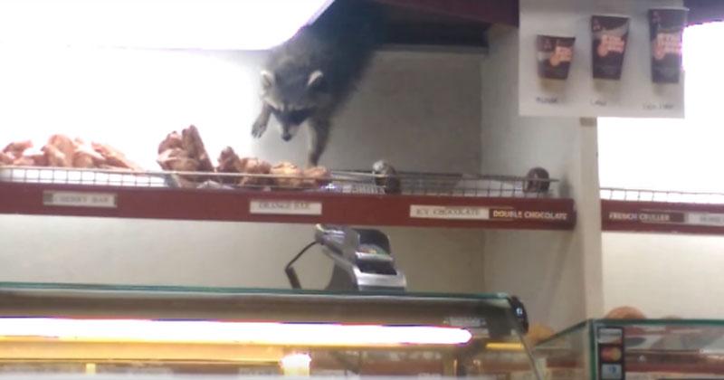raccoon doughnut thief The Shirk Report – Volume 351